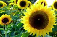 金色向日葵图片(13张)