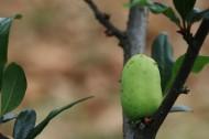 铁甲秋海棠未成熟果实图片(10张)
