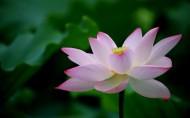 粉嫩荷花图片(19张)