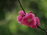 娇艳的桃花图片(15张)