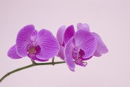 蝴蝶兰图片(27张)