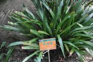 油点草植物图片(1张)