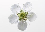 白色花朵图片(9张)