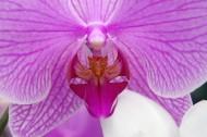 蝴蝶兰花芯图片(11张)