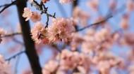 春季盛开的桃花图片(11张)