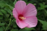 白色和粉色的秋葵图片(20张)