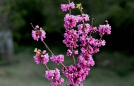 白色和紫色紫荆花图片(6张)