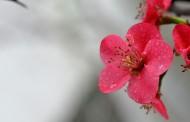 粉嫩的贴梗海棠花卉图片(12张)