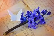 紫色优雅风信子图片(14张)