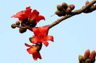 木棉花图片(12张)