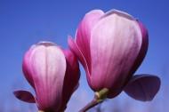 玉兰花卉图片(11张)