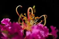 紫薇花图片(19张)