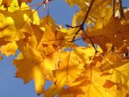 漂亮的枫叶图片(13张)