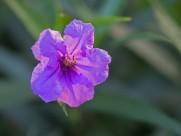 翠芦莉图片(12张)