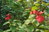 红纸扇花朵图片(3张)
