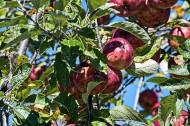 树上的苹果图片(10张)