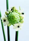 高清白色花朵图片(5张)