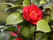 红色山茶花图片(9张)