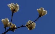 玉兰花图片(11张)