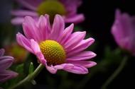 微距雏菊图片(10张)