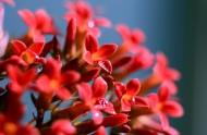 红色长寿花图片(21张)
