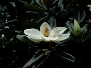广玉兰图片(6张)