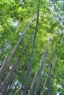 崖州竹植物图片(2张)