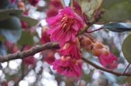 红花荷植物图片(12张)