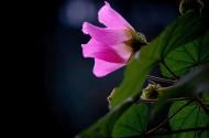 粉色芙蓉花图片(10张)