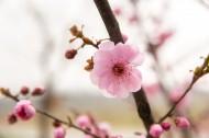 春天鲜艳的梅花图片(18张)