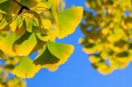 秋天如金色蝴蝶的银杏叶图片(10张)