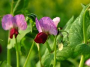 可爱的豌豆花图片(9张)
