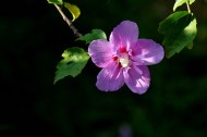 木槿花图片(11张)