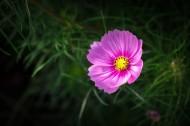 粉色波斯菊图片(12张)
