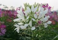 醉蝶花花卉图片(8张)