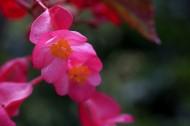 红色的四季海棠图片(13张)