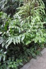 下延三叉蕨植物图片(1张)