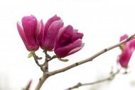 紫玉兰花卉图片(8张)