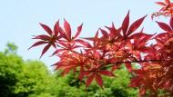 红枫图片(8张)