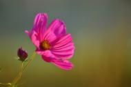 草原上的格桑花图片(11张)