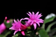 蟹爪莲花卉图片(14张)