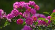 粉色蔷薇花图片(7张)