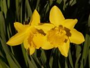 黄色水仙花图片(15张)
