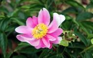 粉色芍药花图片(11张)