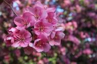 粉红色桃花图片(14张)