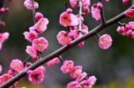 红梅花图片(6张)