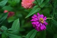 紫色波斯菊图片(8张)