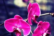 蝴蝶兰微距摄影图片(7张)