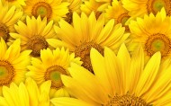 金黄色的向日葵图片(17张)