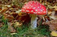 颜色鲜艳的毒蘑菇图片(16张)
